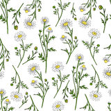 Chamomile wild field flower isolated on white background botanical hand drawn daisy sketch vector doodle illustration. Seamless pattern for design package tea Royalty Free Stock Photo