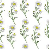 Chamomile wild field flower isolated on white background, botanical hand drawn Daisy sketch, vector illustration. Seamless pattern for design package tea Royalty Free Stock Photo