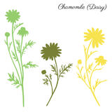 Chamomile wild field flower isolated on white background botanical hand drawn daisy vector silhouette doodle. Illustration for design package tea, organic Stock Images