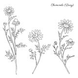 Chamomile wild field flower  on white background botanical hand drawn daisy sketch vector doodle illustration. For design package tea, organic cosmetic, natural Stock Photography