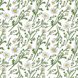 Chamomile wild field flower  on white background botanical hand drawn daisy sketch vector doodle illustration. Seamless pattern for design package tea Royalty Free Stock Photography