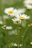 Chamomile wild flower closeup Stock Image