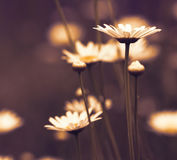 Chamomile wild flower Royalty Free Stock Image