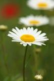 Chamomile wild flower Stock Photography