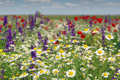 Chamomile and wild flowers Stock Image