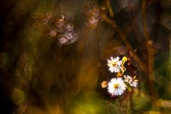 Chamomile wild flowers in fall dry meadow royalty free stock images