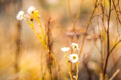 Chamomile wild flowers in fall dry meadow stock photos