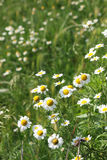 Chamomile wild flowers meadow Stock Photo