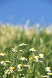 Chamomile wild flowers Stock Image