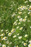 Chamomile wild flowers Stock Photos
