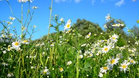 Chamomile on wild meadow in the afternoon stock video footage