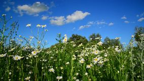 Chamomile on wild meadow in the afternoon stock video