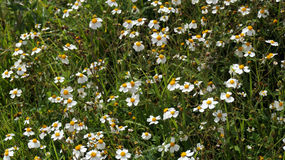 Chamomile wild plants Royalty Free Stock Image