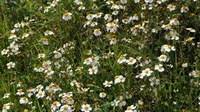 Chamomile wild plants Royalty Free Stock Image
