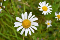 Chamomile wildflower on the green Royalty Free Stock Photography
