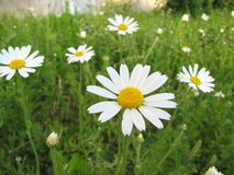 Chamomile wildflower on the green meadow Royalty Free Stock Images