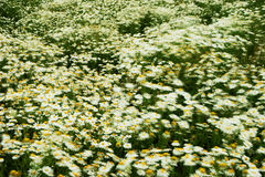 Chamomile in wind Royalty Free Stock Photos