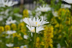 Chamomile in the wind Stock Photos