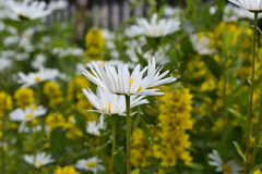 Chamomile in the wind Stock Photography