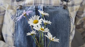 Chamomile in woman hands on summer jeans trousers background.  Stock Images