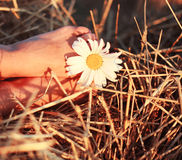 Chamomile, a woman's leg, a haystack Royalty Free Stock Photography