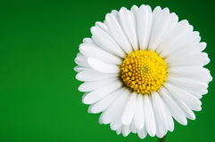 chamomile zbliżenia dof kwiatu macro płycizny strzał Fotografia Royalty Free