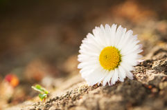 chamomile zbliżenia dof kwiatu macro płycizny strzał Zdjęcie Royalty Free