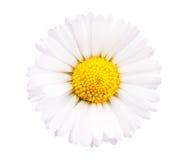 chamomile zbliżenia dof kwiatu macro płycizny strzał Obrazy Stock
