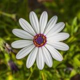 Chamomileblommor stänger sig upp Royaltyfri Foto