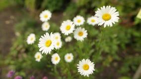 Chamomileblommor stänger sig upp Natur av sommar, blommafält, äng för lös blomma arkivfilmer