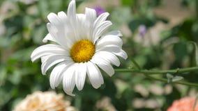 Chamomileblommor stänger sig upp Natur av sommar, blommafält, äng för lös blomma, video för bakgrunden, videofootage lager videofilmer