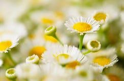 chamomilefält Arkivfoton