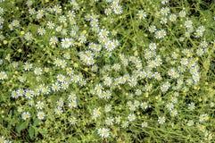 chamomilen blommar nytt Royaltyfri Fotografi