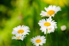 chamomilen blommar nytt Fotografering för Bildbyråer