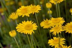 chamomilen blommar yellow Arkivfoto