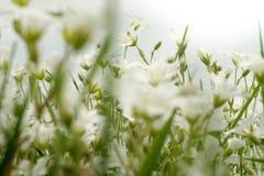 chamomiles άγρια περιοχές Στοκ Φωτογραφίες