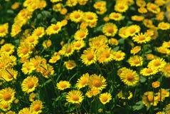 chamomiles κίτρινος Στοκ φωτογραφία με δικαίωμα ελεύθερης χρήσης