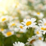 chamomiles λευκό λιβαδιών στοκ εικόνες με δικαίωμα ελεύθερης χρήσης