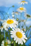 chamomiles λευκό στοκ εικόνα με δικαίωμα ελεύθερης χρήσης