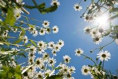 chamomiles λευκό στοκ εικόνες