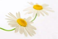 chamomiles λευκό Στοκ Φωτογραφίες