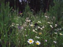 chamomiles Λουλούδια τομέων Στοκ φωτογραφία με δικαίωμα ελεύθερης χρήσης