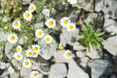Chamomiles στις πέτρες Στοκ φωτογραφία με δικαίωμα ελεύθερης χρήσης