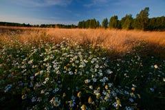 chamomiles τοπίο βραδιού Στοκ εικόνες με δικαίωμα ελεύθερης χρήσης