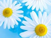 chamomiles ύδωρ Στοκ εικόνες με δικαίωμα ελεύθερης χρήσης