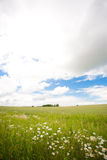 Chamomiles. A green field of chamomiles and blue sky Stock Photography