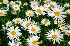 chamomiles Fotografia Stock