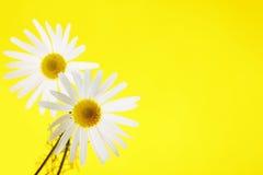chamomiles Fotos de archivo libres de regalías