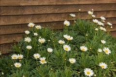 chamomiles image libre de droits