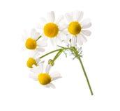 chamomiles Royaltyfria Foton